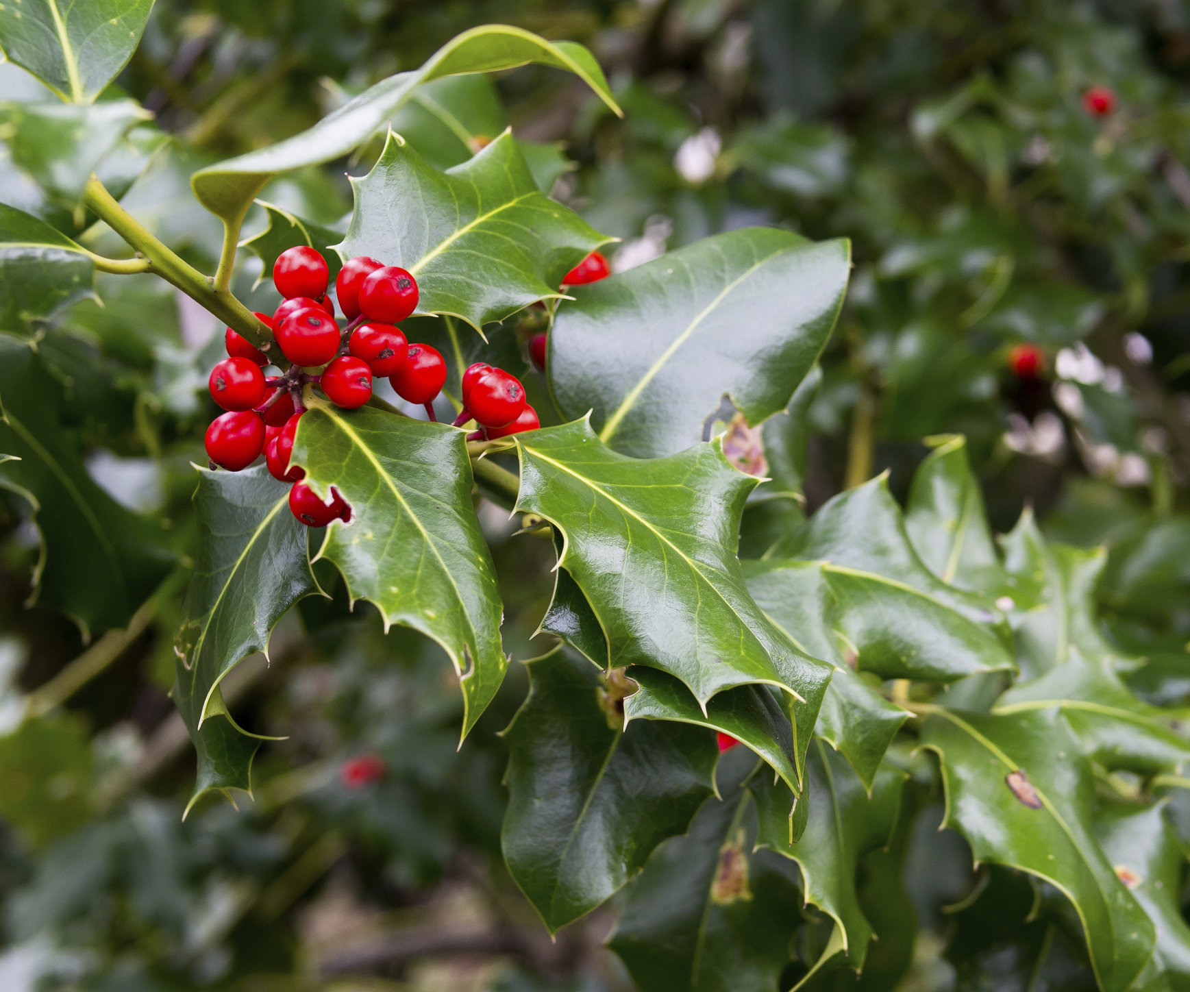 4 Top Types Of Holly For Christmas Atlantic Maintenance