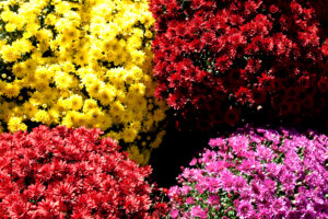 Taking Care of Fall Mums